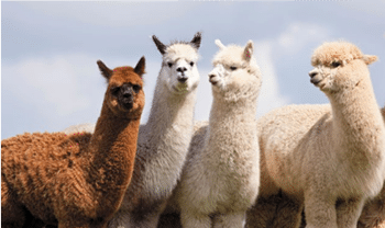 ANIMAL MAGIC WITH ALPACA ENCOUNTER AT PEEBLESSHIRE HOME